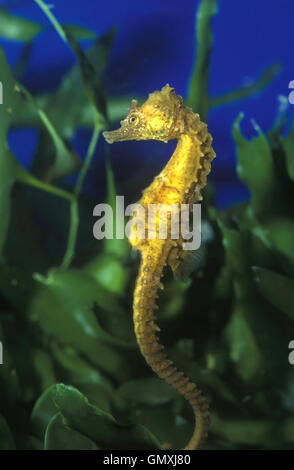 Kurze snouted Seepferdchen, Hippocampus Hippocampus. Unter Caulerpa Meer Unkraut. Aquarium. Portugal - Stockfoto
