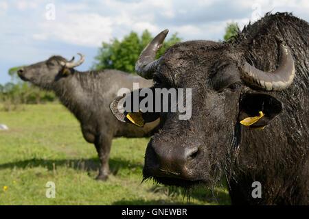 Rumänien Siebenbürgen, Arpasu de Sus, Wasser Büffel vor Fagaras Gebirge, die Milch wird für Mozzarella Verarbeitung - Stockfoto