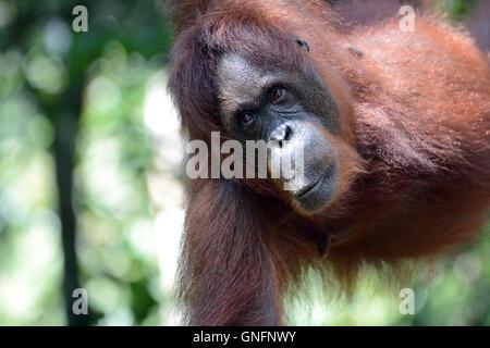Nahaufnahme von ein halb wild weibliche Orang-Utan genommen in t er Wald Semenggoh Naturschutzgebiet. - Stockfoto