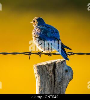 Männlichen Mountain Blue Bird im Morgenlicht thront auf Draht Zaun, Idaho State Vogel, USA, IDAHO - Stockfoto