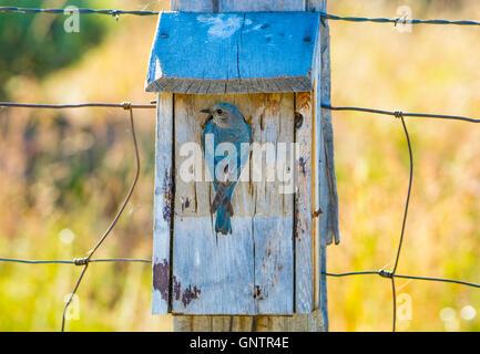 Mountain Blue Altvogel Fürsorge für Jungen in Blue Box/Vogelnest. Idaho Zustand-Vogel, Idaho, USA - Stockfoto