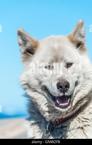 Ein Grönländisch Hund im aggressiven Haltung, Sisimiut, Grönland. Diese Rassen sind ganz anders als die Huskies - Stockfoto
