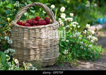 Großer Korb mit roten reifen Erdbeeren auf dem Feld, Sommer, Russland, vegane Lebensweise, Landwirtschaft und Landwirtschaft - Stockfoto