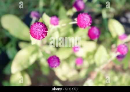 Amaranth Blumen lila, lila Gomphrena im Garten. Ansicht von oben. - Stockfoto