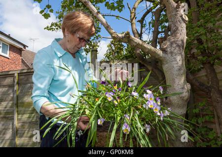 Ältere person im Garten arbeiten. Ältere Frau arrangieren einen hängenden Korb mit Blumen auf einem Baum, England, - Stockfoto