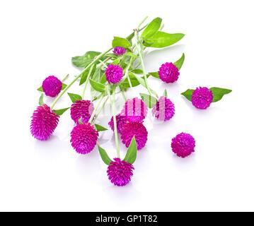 Globe Amaranth Schönheit Blume in weißem Hintergrund - Stockfoto