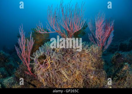 Rote Gorgonien Whip Coral, Lophogorgia Chilensis, Kanalinseln, California, USA - Stockfoto