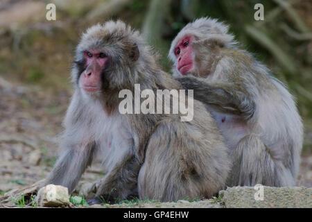 Japanischen Makaken-Affen auf dem Gelände des Iwatayama Affenpark in Kyoto (Japan)