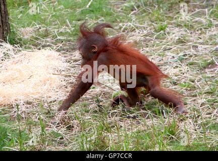 Sechs Monate altes Baby Bornean Orang-Utans (Pongo Pygmaeus) tun ein wenig erkunden - Stockfoto