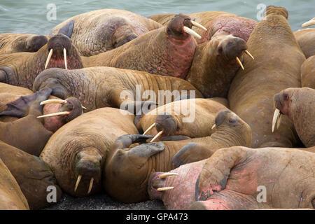 Gruppe von atlantischen Walrosse (Odobenus Rosmarus Rosmarus) auf Haulout, Vaygach Insel, Barents-See - Stockfoto