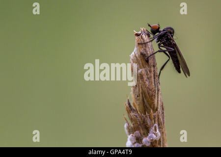 robberflies und grass fliegt asilidae mit beute auf einem rasen klinge deutschland bayern. Black Bedroom Furniture Sets. Home Design Ideas