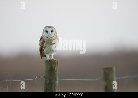 Eine wilde Schleiereule (Tyto Alba) klassische Schuss thront auf einem Zaunpfahl mit Blickkontakt, Rye Harbour Nature - Stockfoto