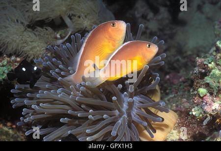 Gelbe Clownfische, Amphiprion Sandaracinos und junge Threespot Dascyllus Dascyllus Trimaculatus, auf Host-Anemone. - Stockfoto