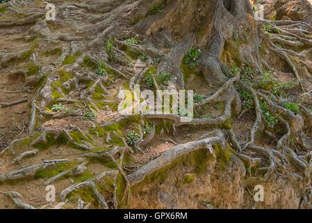Baumwurzeln an Krka Wasserfällen, Kroatien - Stockfoto