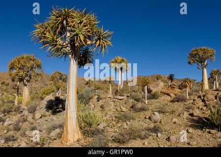 Köcherbaumwald (Aloe dichotoma) in der Karoo Wüste, Südafrika - Stockfoto