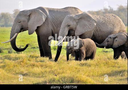 Elefanten im Amboseli, Kenia - Stockfoto