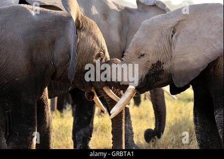Verspielt und zärtlich junge Elefanten im Amboseli National Park - Stockfoto