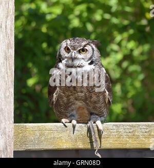 Kurze Eared Owl thront auf einem Zaun (Asio Flammeus) - Stockfoto