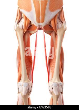 Oberschenkel Muskeln Anatomie Stockfoto, Bild: 128504204 - Alamy