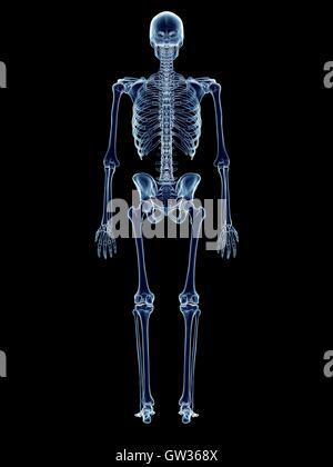 Schön Das Menschliche Skelett System Fotos - Anatomie Von ...