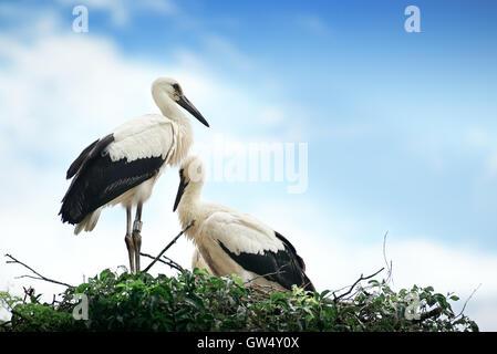 Störche im Nest auf dem Hintergrund der bewölkten Himmel - Stockfoto