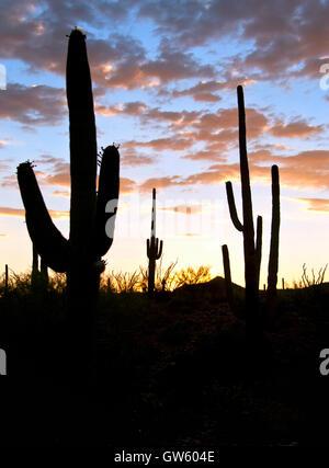 Saguaro-Kaktus-Silhouette bei Sonnenuntergang in Tucson Arizona - Stockfoto