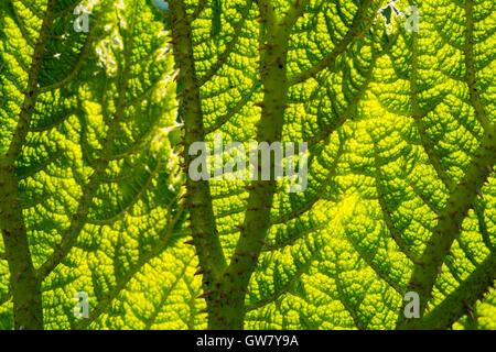Gunnera Blatt full-Frame hinterleuchtet Textur - Stockfoto