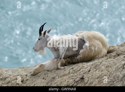 Bergziege - Oreamnos americanus - Stockfoto
