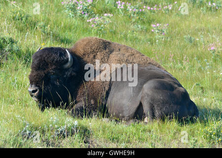Bison - Bison Bison bison - Stockfoto