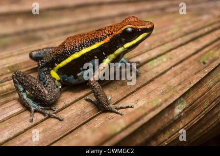 Eine endemische poison Frog (Ameerega Cainarachi) ist nur in einem kleinen Teil von Peru gefunden. - Stockfoto
