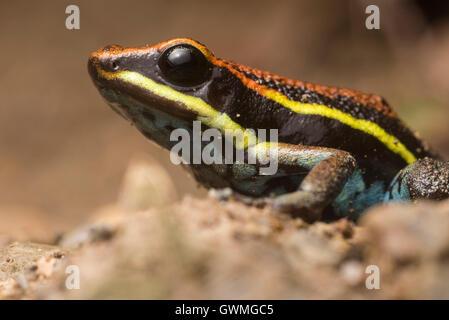 Ein poison Frog (Ameerega Cainarachi), die endemisch auf einen kleinen Teil von Peru, ist sitzt auf dem Waldboden. - Stockfoto