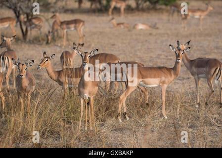 Herde von Impala im Kruger National Park - Stockfoto