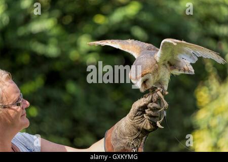 Schleiereule (Tyto Alba) oder gemeinsame Schleiereule ist gerade auf der Seite des weiblichen Falconner gelandet. - Stockfoto