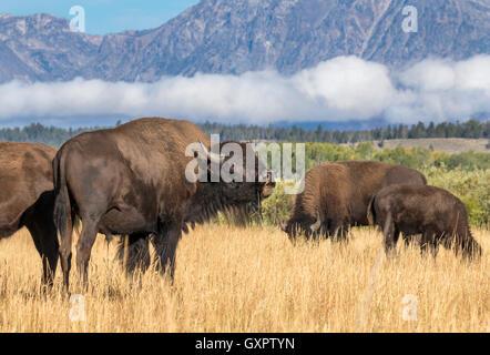 Amerikanische Bisons (Bison Bison) Weiden in Highland Prärie, Grand-Teton-Nationalpark, Wyoming, USA - Stockfoto