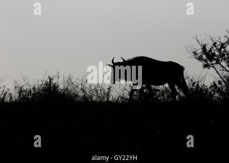 Gnus, Connochaetes Taurinus, einziges Säugetier Hintergrundbeleuchtung, Südafrika, August 2016 - Stockfoto