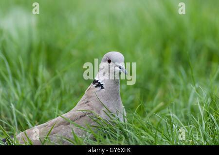 Collared Dove sitzen in der Wiese - Stockfoto