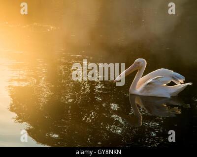 Pelikane in der Morgendämmerung an einem nebligen See - Stockfoto