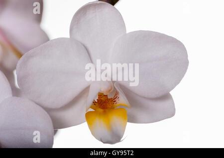 weißer gelben Zentrum Orchidee Blume exotische Tropenpflanze ...