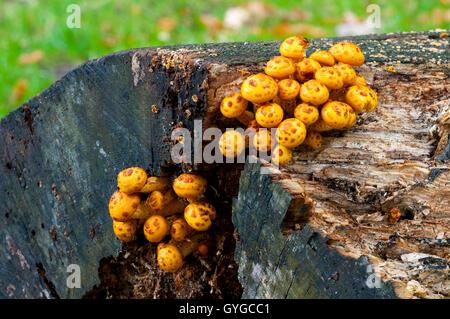 Fruchtkörper des goldenen Scalycap Pilze (Pholiota Aurivella) wächst auf den Überresten eines gefällten Baumes in - Stockfoto