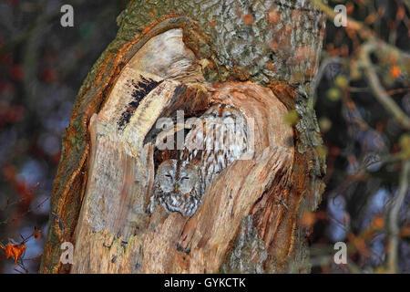 Waldkauz, Wald-Kauz (Strix Aluco), Ruht in Einer Baumhoehle, Deutschland   Eurasische Waldkauz (Strix Aluco), schlafen - Stockfoto