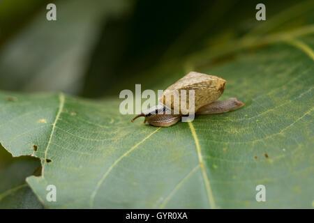 Schnecke im Garten auf grünes Blatt, Closeup, - Stockfoto