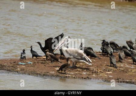 Pelikan (Pelecanus Onocrotalus) - Stockfoto