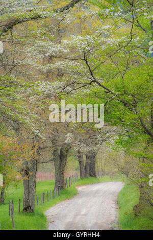 Blühende Hartriegel (Cornus Florida) & Funken Lane, Frühlingsmorgen, Cade Cove, Great Smoky Mountains, Tennessee - Stockfoto