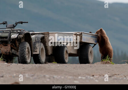 Brown Bear Cub (Ursus Arctos) Check-out ein Fotograf-Shuttle-Fahrzeug in Lake-Clark-Nationalpark, Alaska - Stockfoto