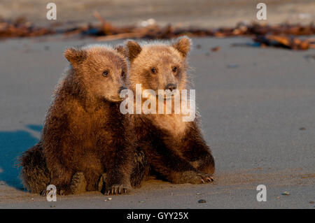 Brown Bear Cubs (Ursus Arctos) ruhen am Strand in Lake-Clark-Nationalpark, Alaska Stockfoto