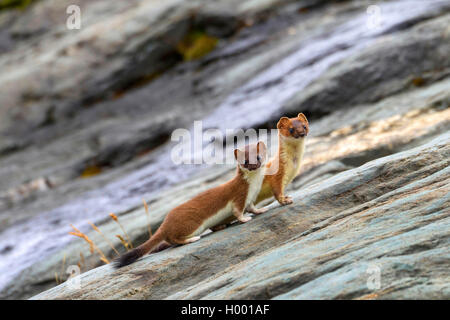 Hermelin Hermelin, Short-tailed weasel (Mustela erminea), zwei hermeline auf einem Felsen, Italien, Südtirol - Stockfoto