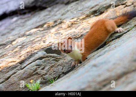 Hermelin Hermelin, Short-tailed weasel (Mustela erminea), steht auf einem Felsen, Italien, Südtirol - Stockfoto