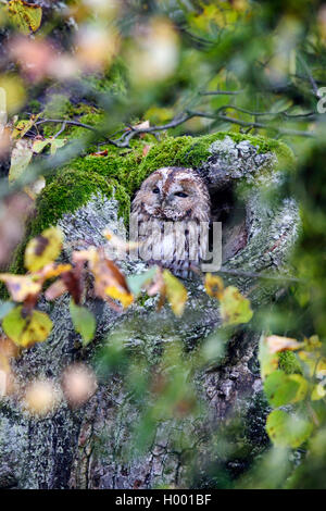 Waldkauz, Wald-Kauz (Strix Aluco), Sitzt in Einer Baumhoehle Zwischen Herbstlaub, Deutschland, Bayern   Eurasische - Stockfoto