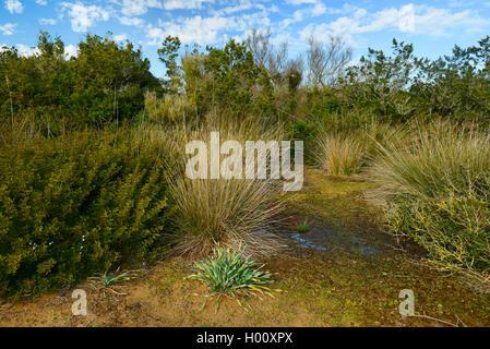 Sumpf auf einer Sanddüne auf Menorca Cala Tirant, Spanien, Balearen, Menorca, Platges de Fornells - Stockfoto