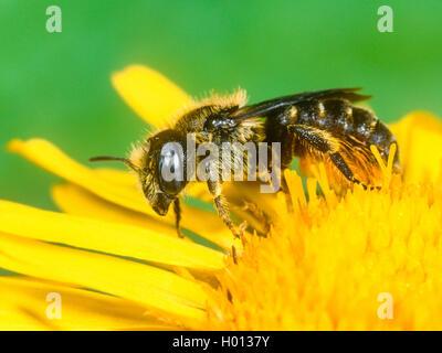 Spined Maurer - Biene (Osmia spinulosa), Weibliche Nahrungssuche auf Qx-Auge (Buphthalmum salicifolium), Deutschland - Stockfoto